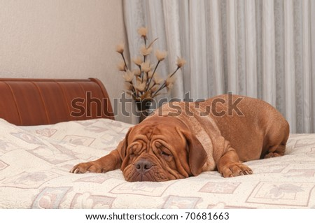 Adorable four years old dog of French Mastiff breed is missing her master lying on his bed - stock photo