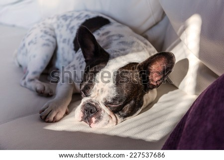 Adorable French bulldog lying on sunny couch - stock photo