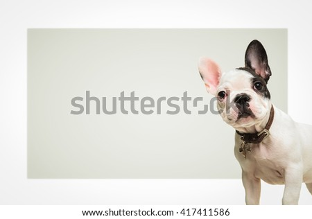 adorable french bulldog puppy dog standing in front of a big blank board looking at the camera - stock photo