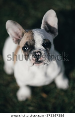 Adorable French bulldog puppy enjoying outdoors, sitting on the grass and looking up at camera. Natural light and shadows. Post processed to mach old film look. Selective focus on dog's nose. - stock photo