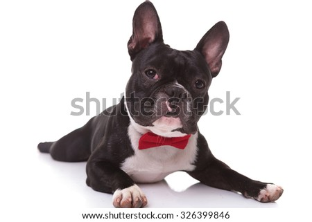 adorable french bulldog puppy wearing bow tie lying down on white background - stock photo