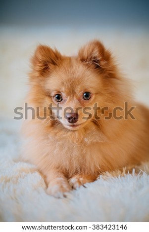 Adorable, furry pomeranian spitz - stock photo