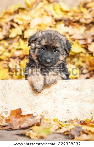 Adorable german shepherd puppy peeking out a puppy fence in autumn  - stock photo