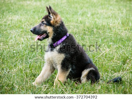 Adorable German Shepherd puppy smiling in grass field profile view - stock photo
