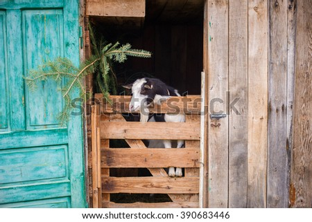 Adorable goat in the wooden farm cage - stock photo