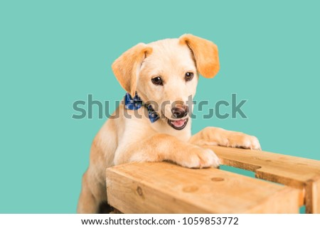 Top Puppies Bow Adorable Dog - stock-photo-adorable-golden-lab-puppy-with-bow-tie-1059853772  Snapshot_166640  .jpg