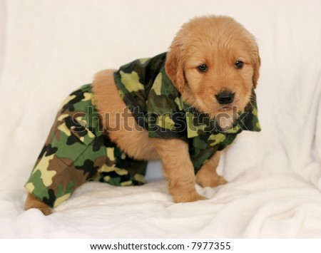 Amazing Outfit Army Adorable Dog - stock-photo-adorable-golden-retriever-in-army-outfit-7977355  You Should Have_19646  .jpg