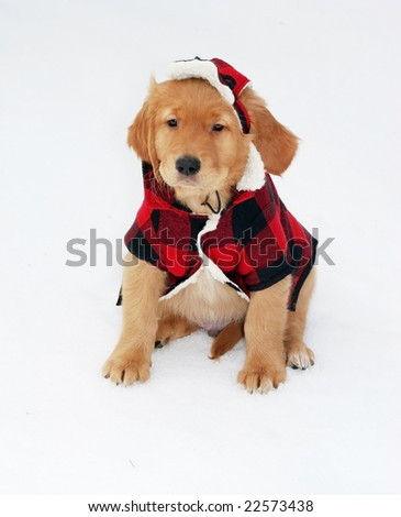 adorable golden retriever in plaid jacket and hat sitting in snow