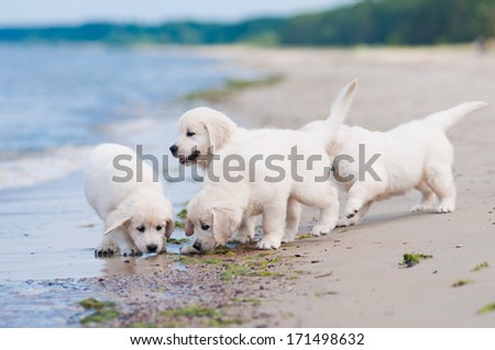 adorable golden retriever puppies on the beach - stock photo