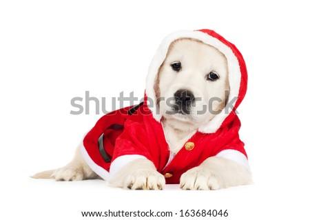 adorable golden retriever puppy in a santa costume - stock photo