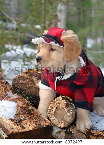 adorable golden retriever puppy in lumberjack's outfit - stock photo