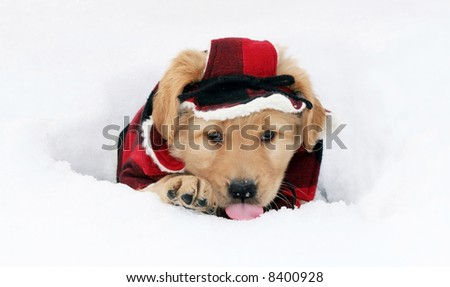adorable golden retriever puppy in plaid hat and coat sitting in hole licking snow