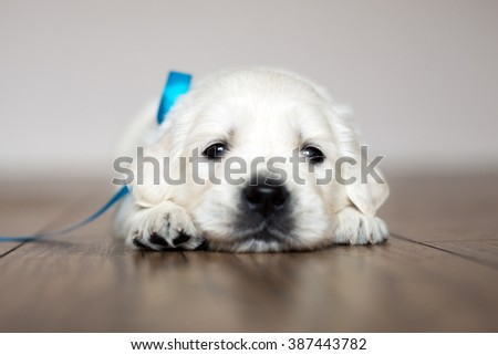 Adorable golden retriever puppy lying on the floor - stock photo