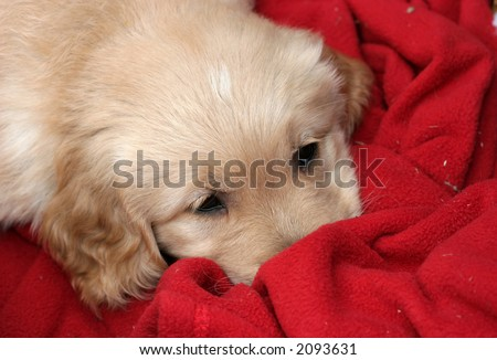 adorable golden retriever puppy on red blanket - stock photo