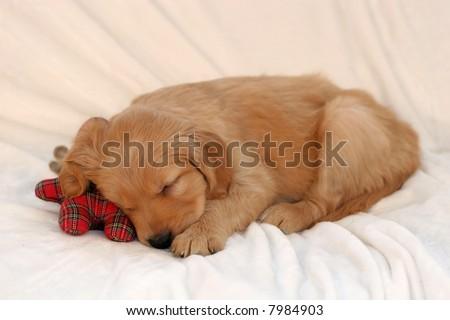 adorable golden retriever puppy sleeping - stock photo