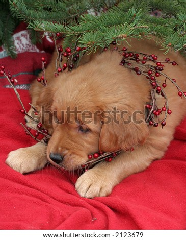 adorable golden retriever puppy under pine tree with wreath