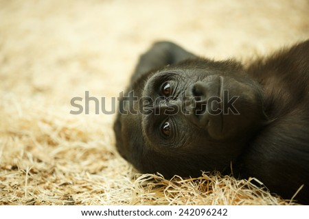 Adorable Gorilla cub lying on the straw. Relaxed baby gorilla. Beautiful monkey posing on the floor. Ape lying and relaxing. - stock photo