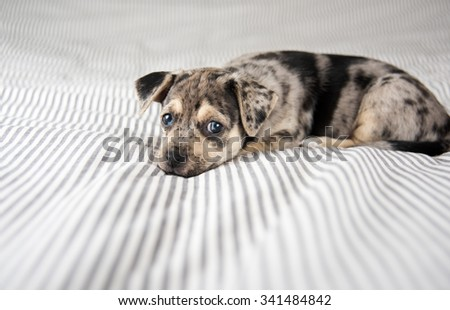 Adorable Gray and Black Terrier Mix Puppy Playing on Human Bed - stock photo