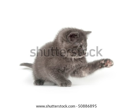 adorable gray kitten playing on white background