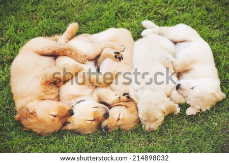 Adorable Group of Golden Retriever Puppies Sleeping in the Yard - stock photo