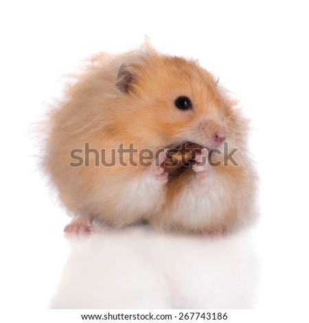 adorable hamster eating a nut
