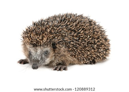 Adorable hedgehog in front of white background - stock photo