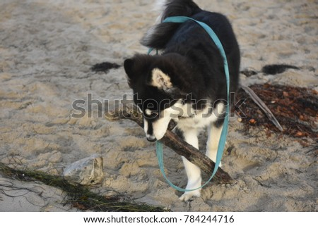 Adorable husky puppy playing on the beach with a branch