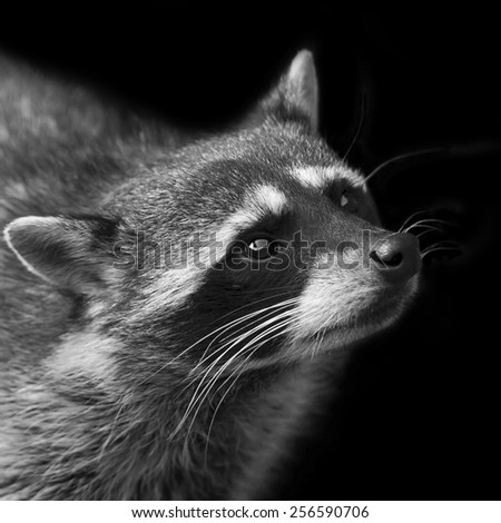 Adorable isolated head of concentrated raccoon. Begging look of excellent washing bear. Picturesque wild beauty of cute and cuddly beast. Amazing animal side face portrait in black and white image.