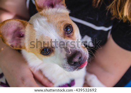 Adorable Jack Russell Terrier dog in the park looking at camera.