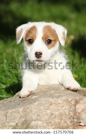 Adorable jack russell terrier puppy on some stone in the garden