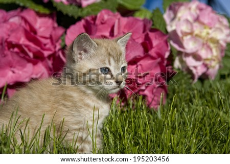 Adorable kitten outdoors in the grass with Hydrangea flower in background