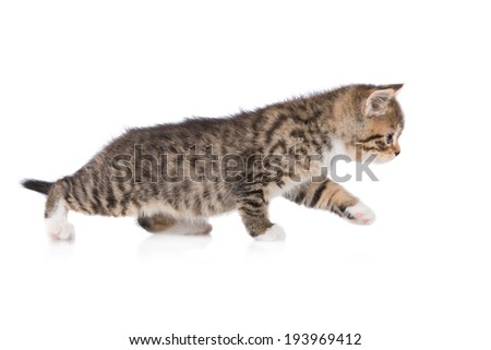 adorable kitten walking - stock photo