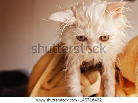 Adorable kitten, wet, after a bath  - stock photo