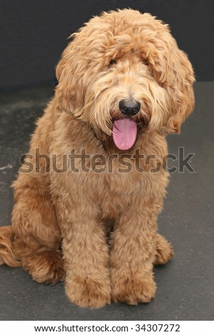 adorable labradoodle - stock photo