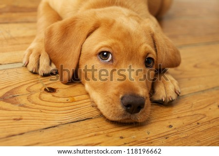 Adorable Labrador Puppy Lying on Wood Floor Looking at Camera - stock photo