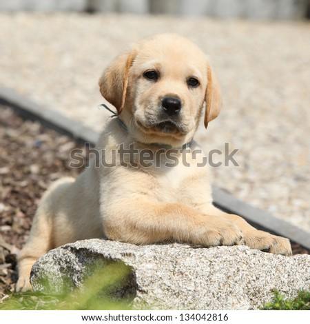 Adorable labrador retriever puppy lying on a stone in beautiful garden - stock photo