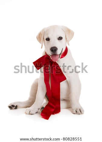 Adorable labrador retriever puppy wearing a red sattin lace, isolated on white - stock photo