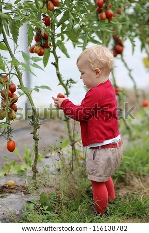 Adorable little baby girl in colorful red sweater and pants gathers ripe sweet tomatoes inside greenhouse on a farm - stock photo