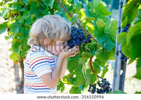 Adorable little blond toddler boy with ripe blue grapes on grapevine background. Child helping with harvest and eating fruits. - stock photo