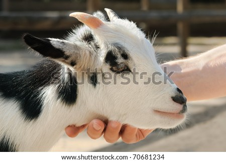 Adorable little goat being stroked at the petting zoo