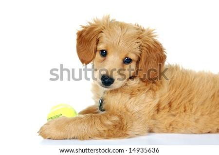 Adorable little Golden Doodle Puppy - stock photo