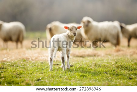 Adorable little lamb on pasture looking back during spring season. - stock photo