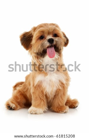 Adorable little mixed bread female dog sitting with tongue out over white background.