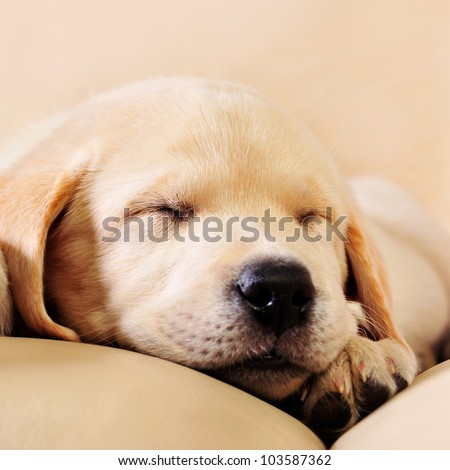 Adorable little puppy lying on sofa - stock photo