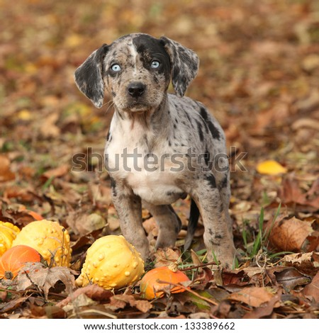 Adorable Louisiana Catahoula puppy with pumpkins in Autumn - stock photo
