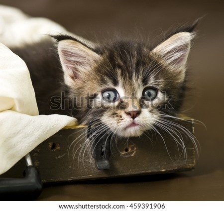Adorable maine coon kitten - stock photo