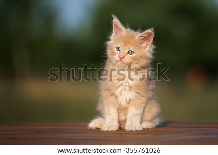 adorable maine coon kitten sitting outdoors - stock photo