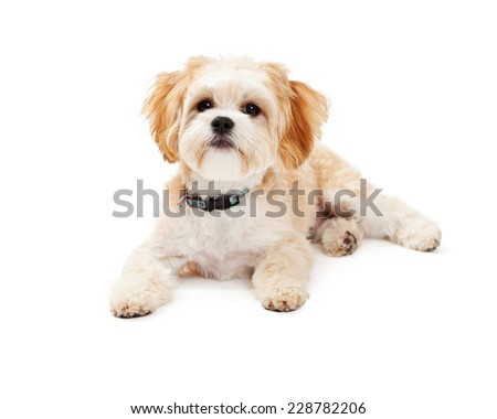 Adorable Maltese Mix Breed Dog laying at an angle while looking off to the side.  - stock photo