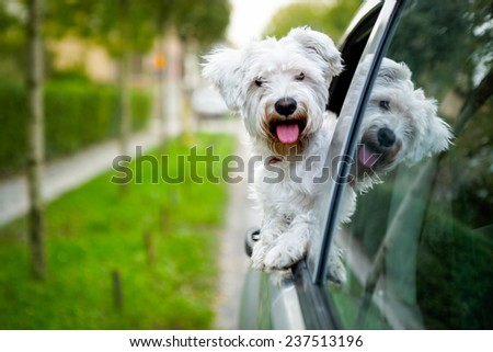 adorable maltese puppy looking out the car window - stock photo