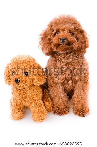 Great Fur Brown Adorable Dog - stock-photo-adorable-mini-toy-poodle-with-golden-brown-fur-on-a-white-background-658023595  Trends_551494  .jpg